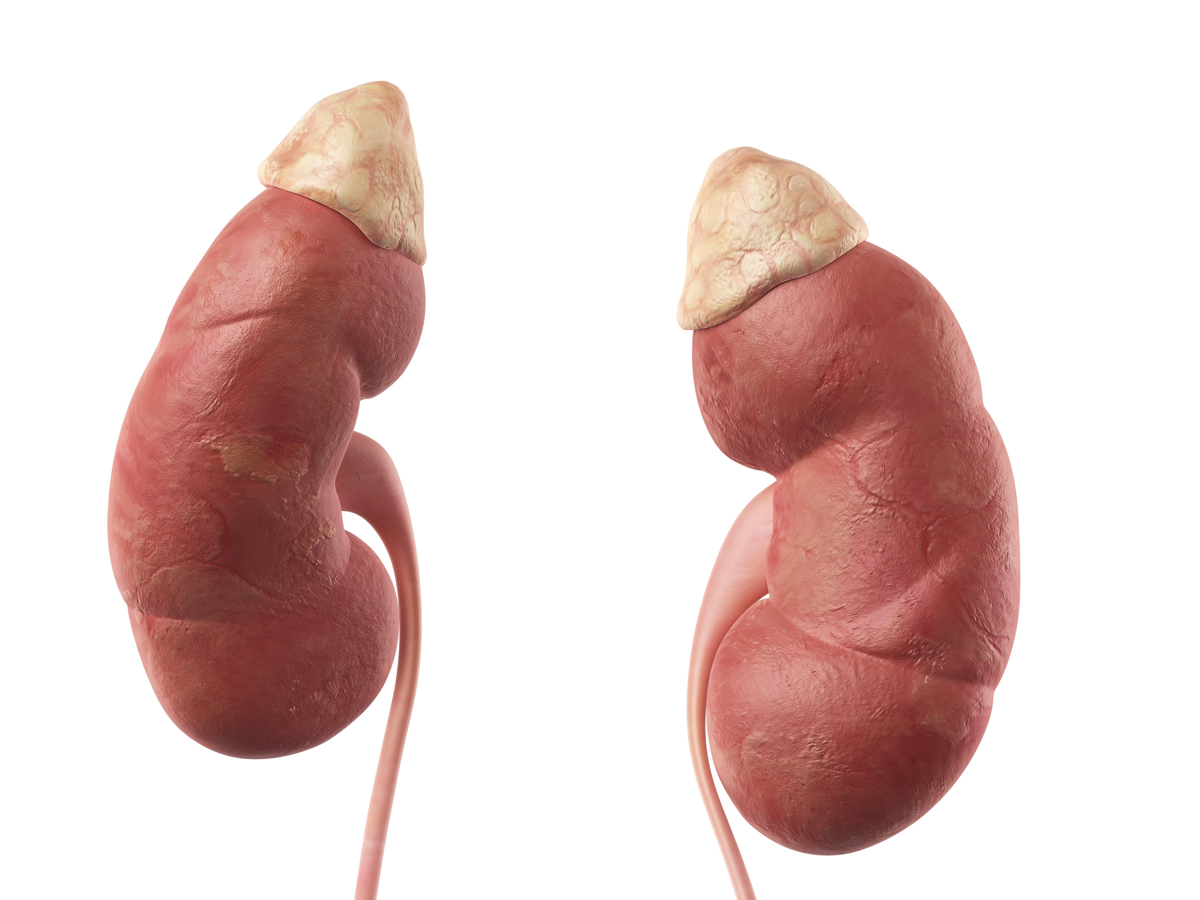 Gemütlich Wo Sind Die Nieren Auf Den Menschlichen Körper Befindet ...