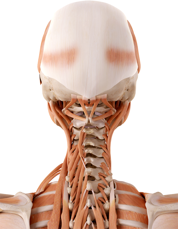 Nackenschmerzen Behandlung - Steifer Nacken – Blockade - EIM Praxis ...