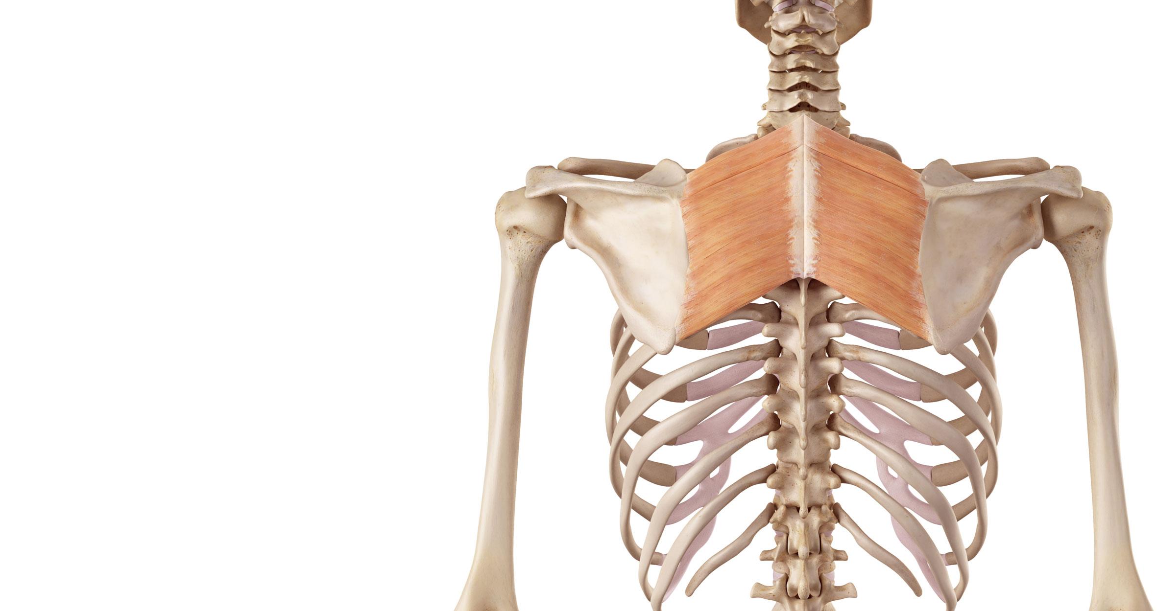 Großartig Schulter Anatomie Galerie - Physiologie Von Menschlichen ...